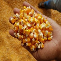 Продам фуражную кукурузу