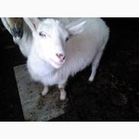 Козы и козлята на мясо или разведение