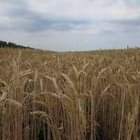 Семена озимой пшеницы «Гром» ОТ ПРОИЗВОДИТЕЛЯ