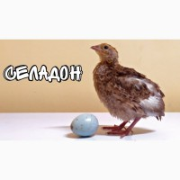 Перепелка селадон - птенцы