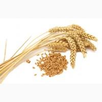 Продаем пшеницу 3, 4 класс оптом от сельхозпроизводителя