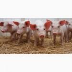 Продам свиней 120-170 кг живым весом
