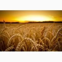 СРОЧНО продам канадский ярый трансгенный сорт твердой пшеницы RAINY