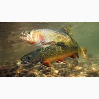 Живая рыба Форель для пруда