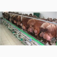 Племенные козы молочных пород
