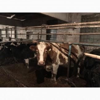 Мясокомбинат закупает коров выбраковку на убой