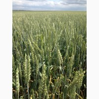 Продам семена пшеницы безостая сорт Синева