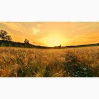 Семена оз пшеницы мягкой Безостая 100, Гром, Гурт, Таня, Тимирязевка-150, Степь, Юка и др