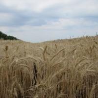 Семена озимой пшеницы «Губернатор Дона» ОТ ПРОИЗВОДИТЕЛЯ