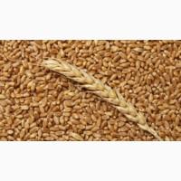 Продаем ячмень 1, 2, 3 сорта оптом от сельхозпроизводителя