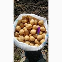 Картофель оптом от производителя с полей