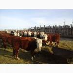 Реализуем КРС живым весом оптом по РФ и СНГ с доставкой на скотовозах