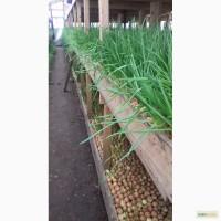Продаем зеленый лук перо