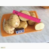 Картофель оптом напрямую от производителя
