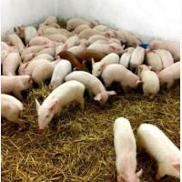 Поросята от крупной свиноматки