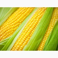 Семена кукурузы Катерина, РОСС-140, РОСС-199 (КБР) F1