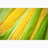 Продаем семена кукурузы краснодар