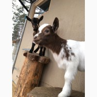 Продам карликовых камерунских козлят