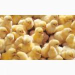 Куры-несушки, молодки, цыплята-бройлеры