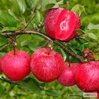 Саженцы яблони BAYA Marisa опт