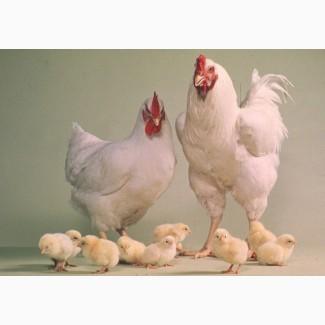 Инкубационное яйцо кросса РОСС-308