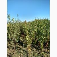 Продам саженцы плодовых деревьев, кустарников