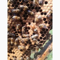 Принимаем заказы на пчеломаток F1 Бакфаст