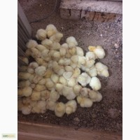 Цыпленок бройлерный arbor acres (кобб700)