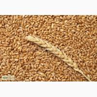 Семена пшеницы озимой (Тарасовская селекция): Северодонецкая юбилейная, Губернатор Дона