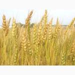 Продам пшеницу 5 класса