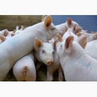Мясо-сальная порода поросят