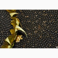 Сумико Syngenta Express Sun семена гибридов подсолнечника