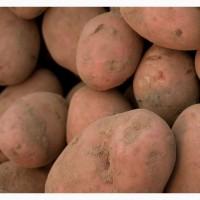 Картофель оптом Вектор калибр 5
