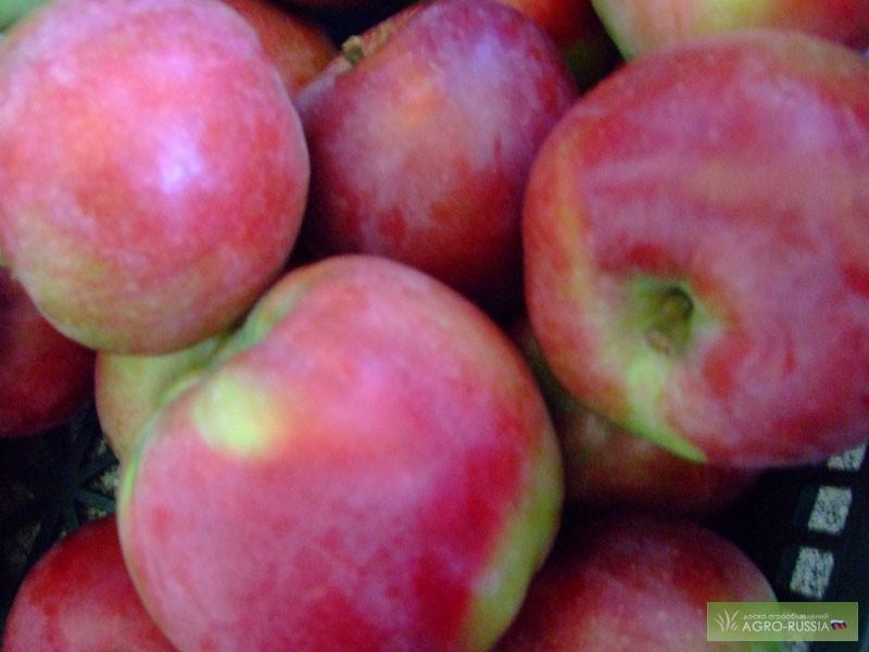 сорта осенних яблок фото