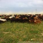 Овцы на мясо 5000 за голову