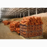 Лук оптом от 20 тонн