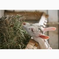 Козлята и козы от заводчика