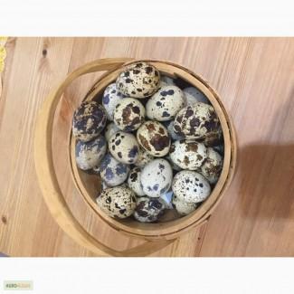 Продам домашнее перепелиное яйцо
