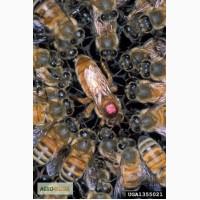 Продам пчел пчелопакеты пчелосемьи
