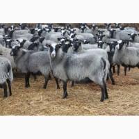 Продаем овец, баранов (Романовская порода)