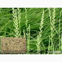 Продам:Семена райграса пастбищного ВИК 66 (многолетний)