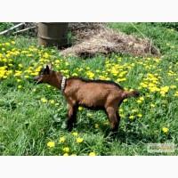 Козлик чешской коричневой короткошерстной