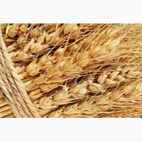 Семена озимой пшеницы Веха