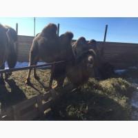 Продам верблюдов самцов