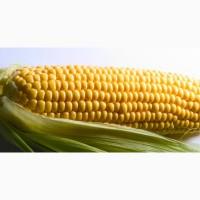 ООО НПП «Зарайские семена» продает семена гибридов кукурузы