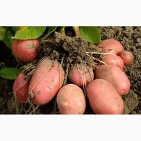 Продаём картофель сортов Беллароза, Бриз, Улодар оптом от фермера