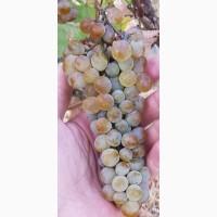 Технические (винные) сорта винограда