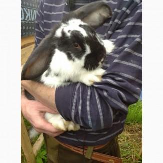 Продаются кролики