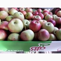 Яблоки оптом от производителя. Урожай 2019 года