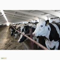 Оптовая продажа коров
